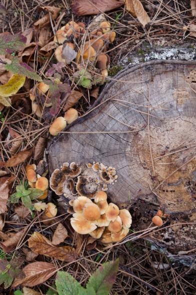 pinhal-cogumelos