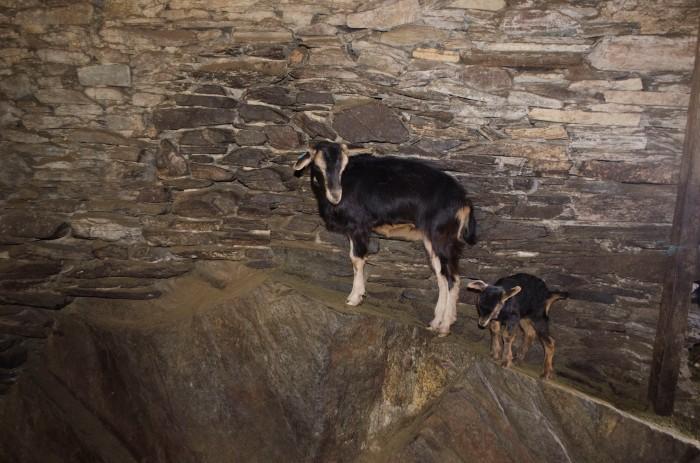 Cabra e cabrito da Serra da Estrela